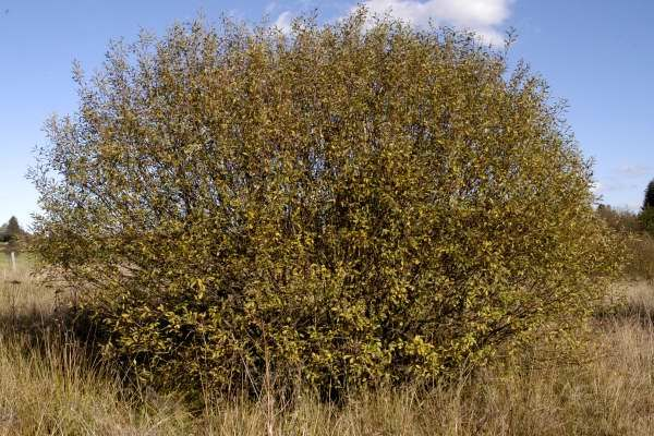 Rusty willow or Gray Willow (Salix cinerea and Salix atrocinerea)