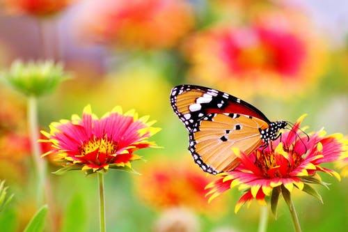 Photo of an orange butterfly perched in a field of bright pink and yellow flowers.