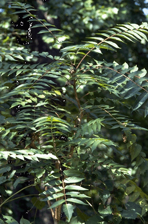 Bundle of Ailanthus