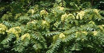 Large Batch of Ailanthus