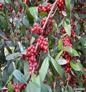 Autumn-olive with Red Berries