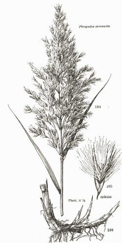Drawing of Common Reed