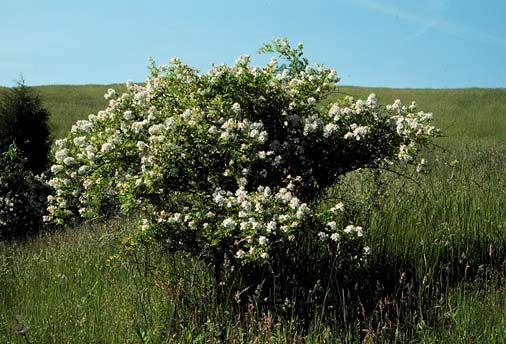 Multiflora Rose Bush with Grasslands in Distance