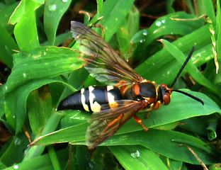 Cicada Killer Wasp on Green Leaf