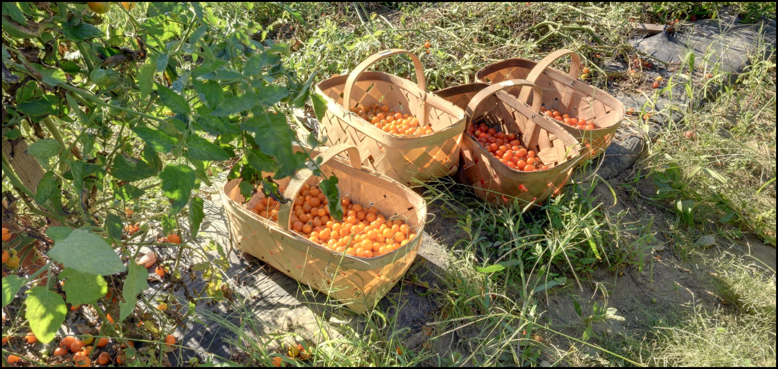 Tomato Harvest at Verrill Farm