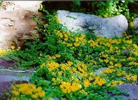Moneywort (Creeping Jenny) Bush
