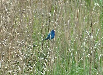Blue Bird Sitting on Grass